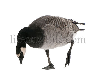 Mixed-Breed goose between Canada Goose - (Branta canadensis) and a Barnacle Goose (Branta leucopsis) ( /- 18 months)