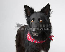 Black German Shepherd with red scarf poses in the studio for a head and shoulders portrait isolated on light gray