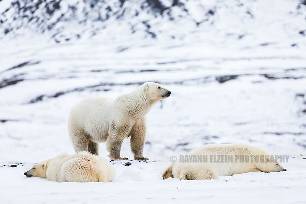 Female polar bear with her two cubs in Spitsbergen, Norway