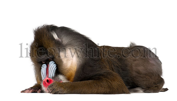 Mandrill lying, Mandrillus sphinx, 22 years old, primate of the Old World monkey family against white background