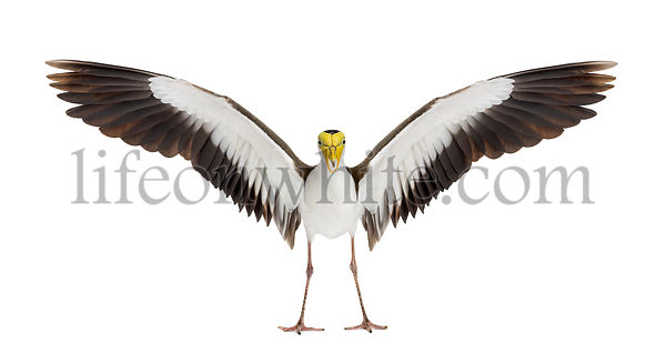 Masked lapwing spreading his wings, isolated on white