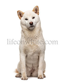 Sitting white Shiba Inu, isolated on white