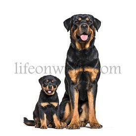 Rottweiler, 18 months old and 3 months old, in front of white background