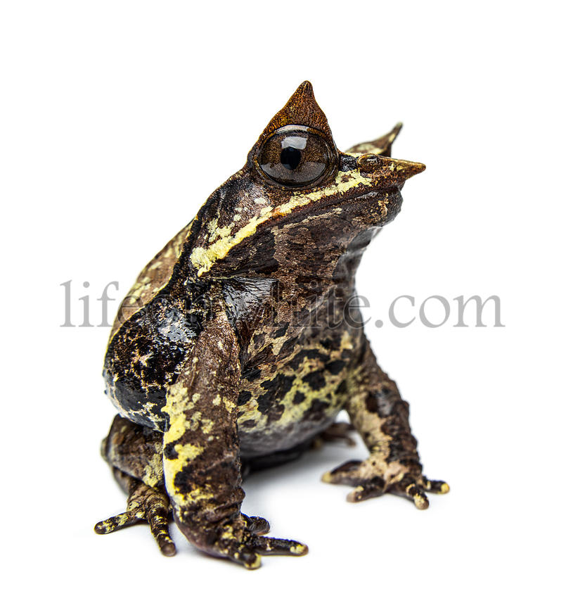 Side view of a Long-nosed horned frog looking at the camera, Megophrys nasuta, isolated