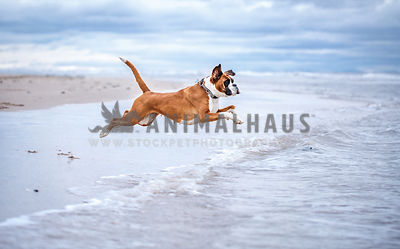 boxer jumps in sea