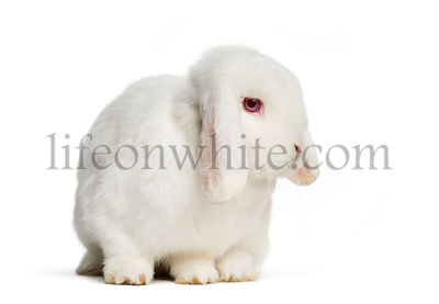 Holland Lop rabbit in front of white background