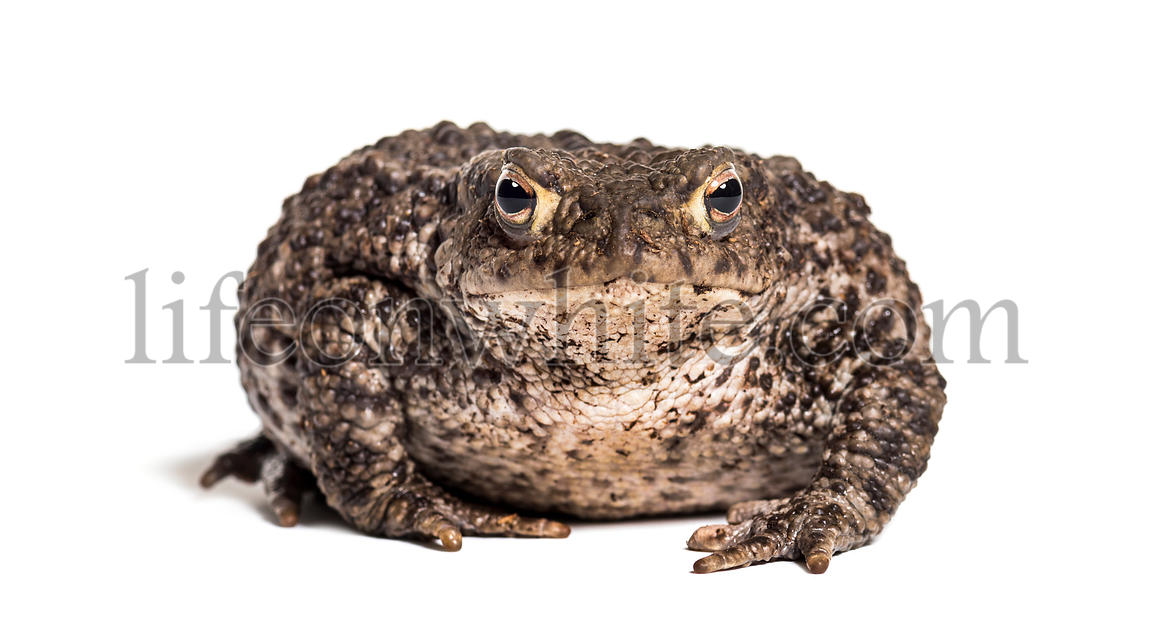 Common toad, European toad, or simply the toad, Bufo bufo, in front of white background