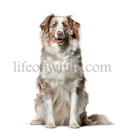 Border Collie , 2 years old, sitting against white background