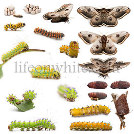 Complete evolution of Giant Peacock Moth, Saturnia pyri, against white background