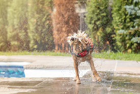 dog shaking off water after leaving pool