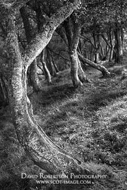 Prints & Stock Image - Small twisted Silver Birch tree, near Tomnavoulin, Glenlivet, Moray, Scotland.  Black and White