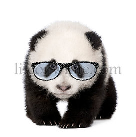 Young Giant Panda wearing glasses in front of a white background