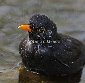 Close-up of male Common Blackbird (Turdus merula) part way through bathing, Lake District National Park, Cumbria, England