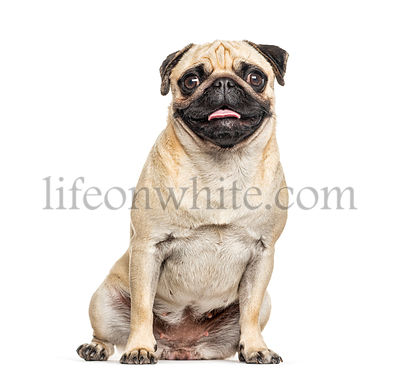 Panting and sitting Pug, isolated on white
