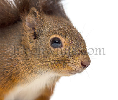 Close-up of a Red squirrel in front of a white background
