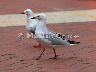 Juvenile Red-Billed Gull (Larus novaehollandiae scopulinus) with darker legs, feet and bill than the adult behind, Auckland W...