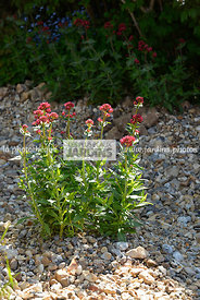 Centranthus ruber coccineus (Valériane), Paysagiste : Rosy Hardy, CFS, Angleterre