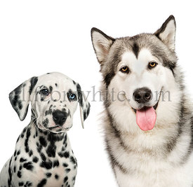 Dalmatian puppy, Alaskan Malamute, in front of white background