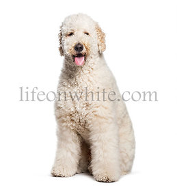 Labradoodle sitting in front of white background