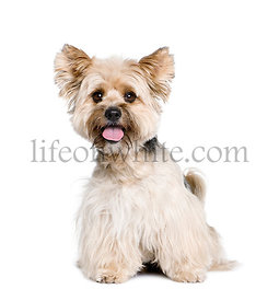 Biewer Terrier, 4 years old, in front of white background