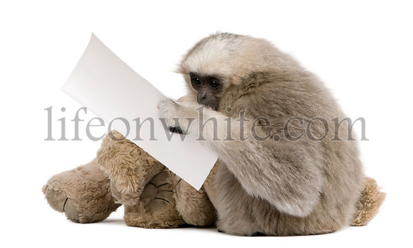 Young Pileated Gibbon, 1 year , Hylobates Pileatus, sitting