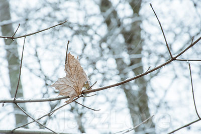 The last dry and yellow leaf on tree and falling snow.