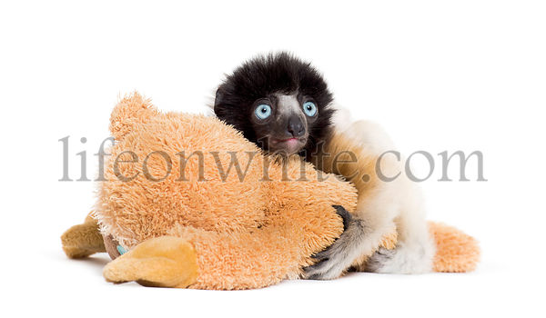 Soa, 4 months old, Crowned Sifaka, hugging a soft toy against white background