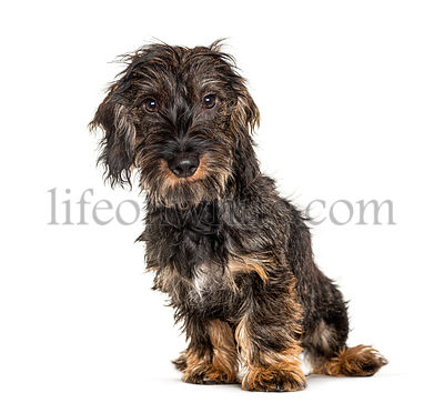 Long-haired dachshund dog, isolated on white
