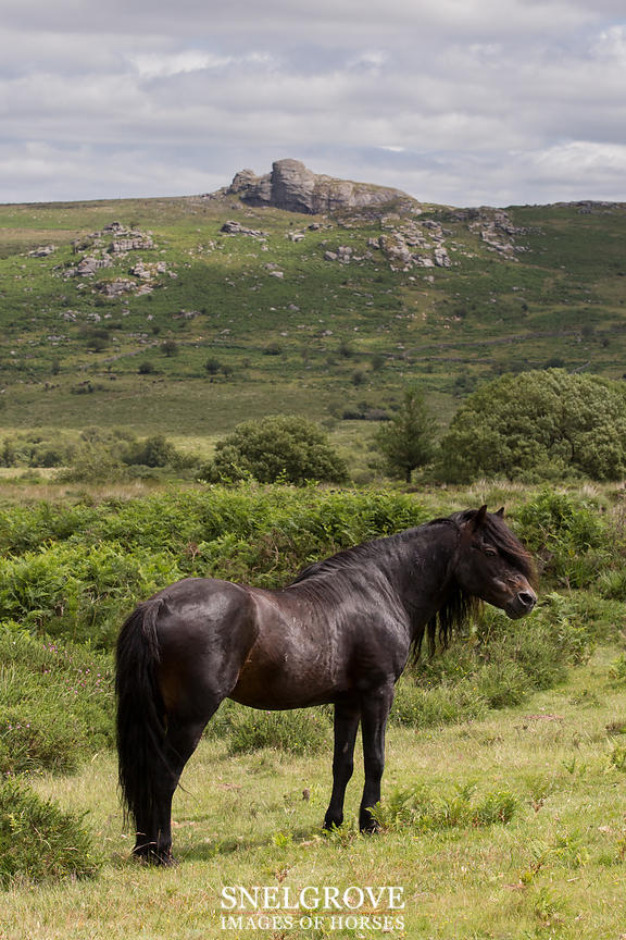 Sir Precipitation - Dartmoor Pedigree Stallion