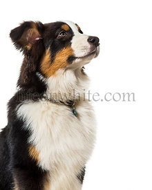 Australian Shepherd against white background