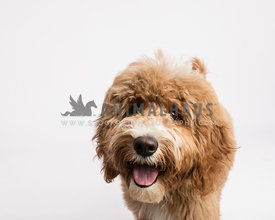 golden doodle puppy headshot smiling