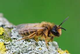 Closeup of a female Yellow-legged Mining Bee, Andrena flavipes on a lichen covered piece of wood