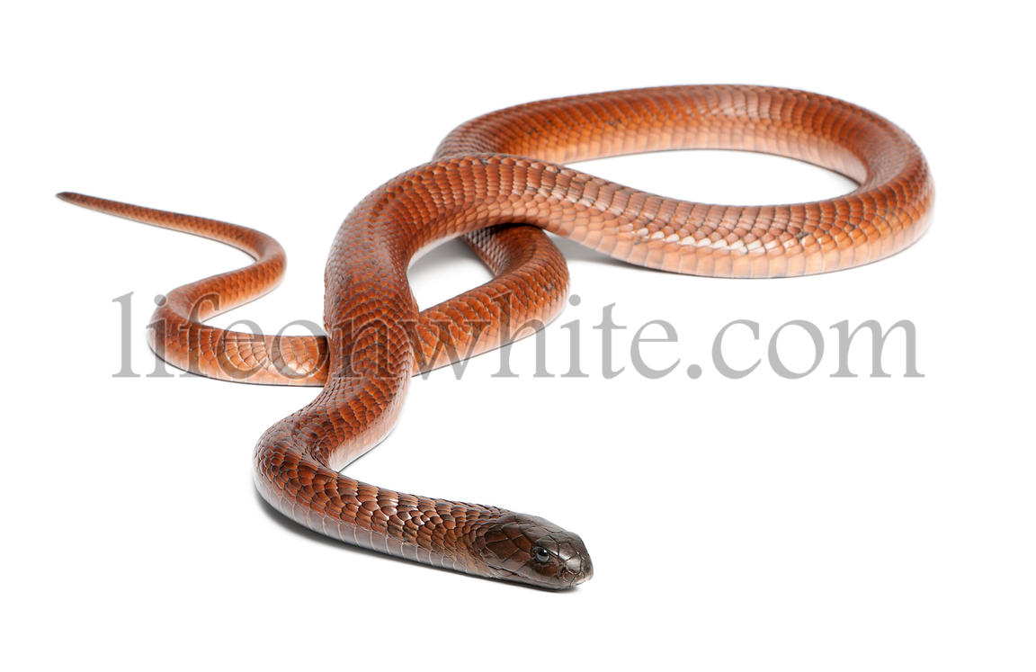 Egyptian cobra - Naja haje, poisonous, white background