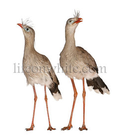 Male and Female Red-legged Seriema or Crested Cariama, Cariama cristata, standing in front of white background