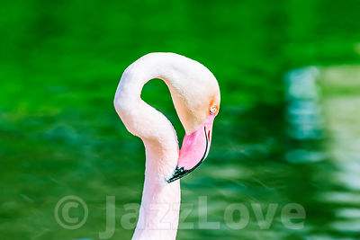 Flamingo head and neck, blurred water in background.