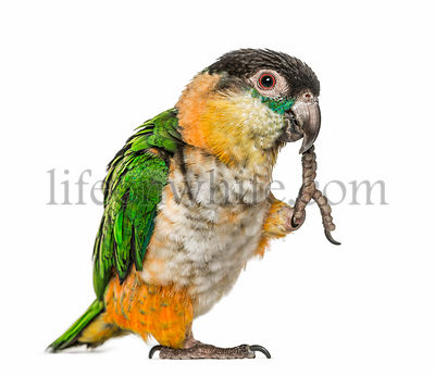 Black-capped parrot with leg in beak, isolated on white