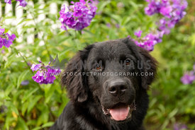 Close up of a black newfoundland puppy with purple flowers