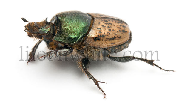 Scarab beetle - Onthophagus Sp, in front of white background