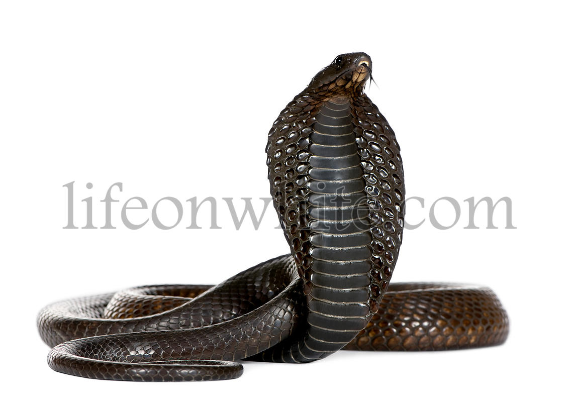 Egyptian Cobra, Naja Haje, studio shot