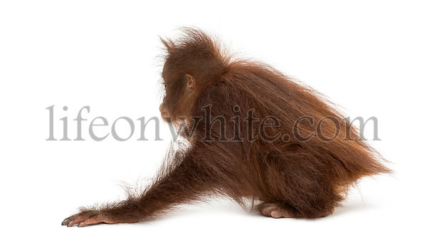 Rear view of a young Bornean orangutan crouching, Pongo pygmaeus, 18 months old, isolated on white