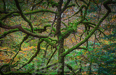 Leafless tree with twisted branches covered with moss growing in autumn coloured woodland.