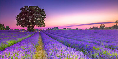 Lavender field at dusk