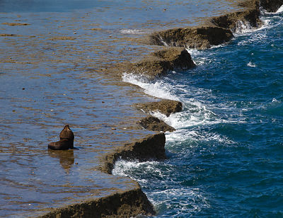 Male South American sea lion on the Atlantic coast near Puerto Piramides on Peninsula Valdes, Argentina.