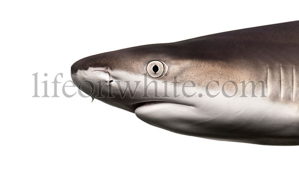 Close-up of a Blacktip reef shark\'s profile, Carcharhinus melanopterus, isolated on white