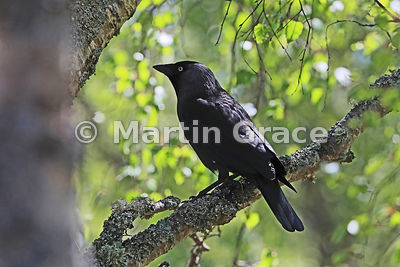 Western Jackdaw (Corvus monedula) in a Birch (Betula sp) tree, Badenoch & Strathspey, Scottish Highlands