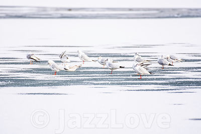 Birds on frozen lake.