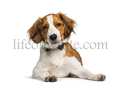 Kooikerhondje, 4 months old, lying in front of white background