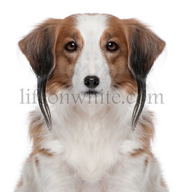 Digital enhanced of a Kooiker Hound with piercing, 7 years old, in front of white background