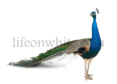 Male Indian Peafowl in front of white background