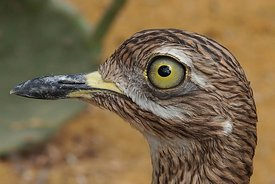 Facial closeup of a wader bird, the Cape thick-knee, spotted dikkop, spotted thick-knee , Burhinus capensis